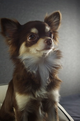 Helkira Du Royaume Des Petits Anges, chien Chihuahua