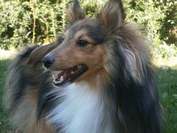 Helko, chien Berger des Shetland