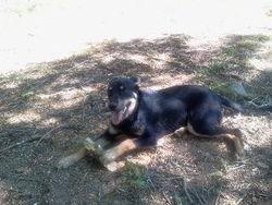 Helky , chien Beauceron