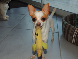Helky, chien Chihuahua