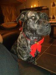 Hell'S, chien Dogue de Majorque