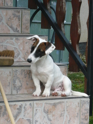 Hellboy, chien Jack Russell Terrier