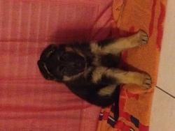 Hellfy, chien Berger allemand