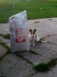 Hellia, chien Jack Russell Terrier