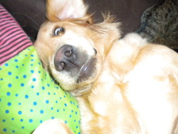 Hellie, chien Golden Retriever