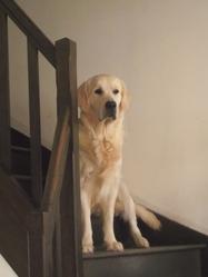 Hellios, chien Golden Retriever