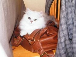 Hélliot, chat Persan