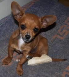 Helliot, chien Chihuahua