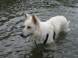 Helliot, chien Berger blanc suisse