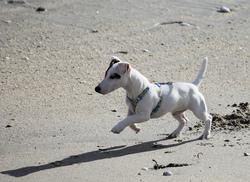 Helliott, chien Jack Russell Terrier