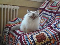 Hello Kitty , chat Birman
