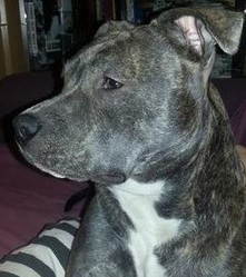 Hellsy, chien American Staffordshire Terrier