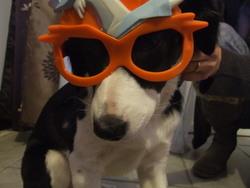 Helly, chien Border Collie