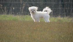 Helly, chien Bichon maltais