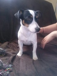 Helly, chien Jack Russell Terrier