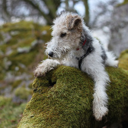 Helmut, chien Fox-Terrier