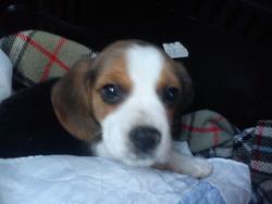 Helmut, chien Beagle
