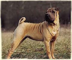 Helna, chien Shar Pei