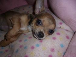 Héloise, chien Chihuahua