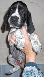 Help Du Ruisseau De Montbrun, chien Braque d'Auvergne