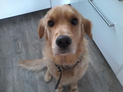 Helphy, chien Golden Retriever