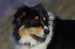 Helpi, chien Berger australien