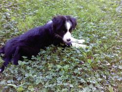 Helsie, chien Border Collie
