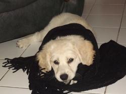 Helsie, chien Labrador Retriever