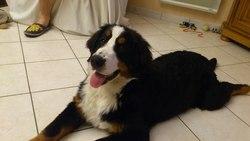 Helsie, chien Bouvier bernois