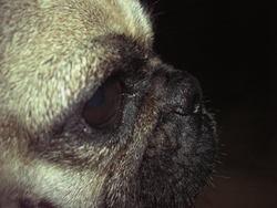 Helsie, chien Carlin