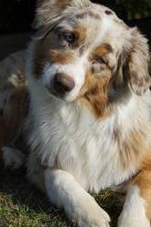 Helsie, chien Berger australien