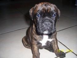 Helsie, chien Boxer