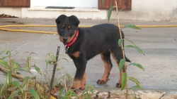 Helsy, chien Beauceron