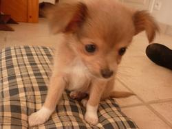 Helva, chien Chihuahua