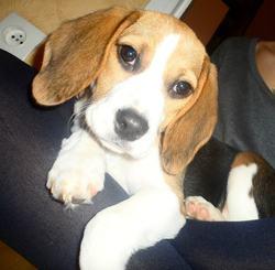 Hélya, chien Beagle