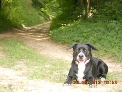 Helya, chien Border Collie
