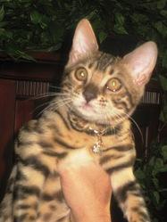 Helza, chat Bengal
