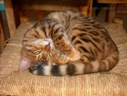 Héméra, chat Bengal