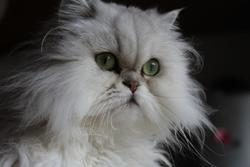 Hemeraude Des Persans De Fanny, chat Chinchilla Persan