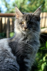 Hemmy Blue, chat Maine Coon
