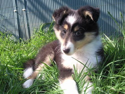 Hemmy, chien Berger des Shetland