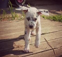 Hemy, chien Dalmatien
