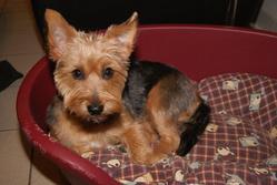 Hémy, chien Yorkshire Terrier