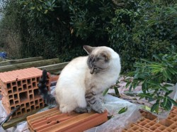Houpette, chat Birman