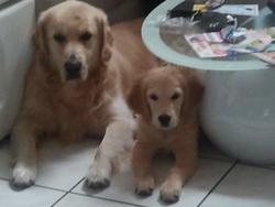 Hendrix, chien Golden Retriever
