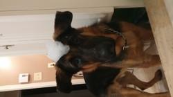 Hendrix, chien Berger allemand