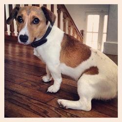 Hendrix, chien Jack Russell Terrier