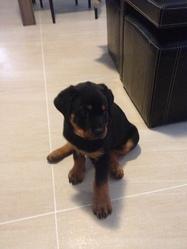 Hendrix, chien Rottweiler