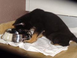 Hendrix De La Vallee De Wolfhunds, chien Berger allemand