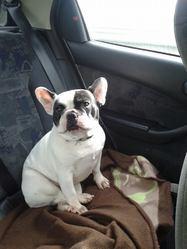 Hendy, chien Bouledogue français